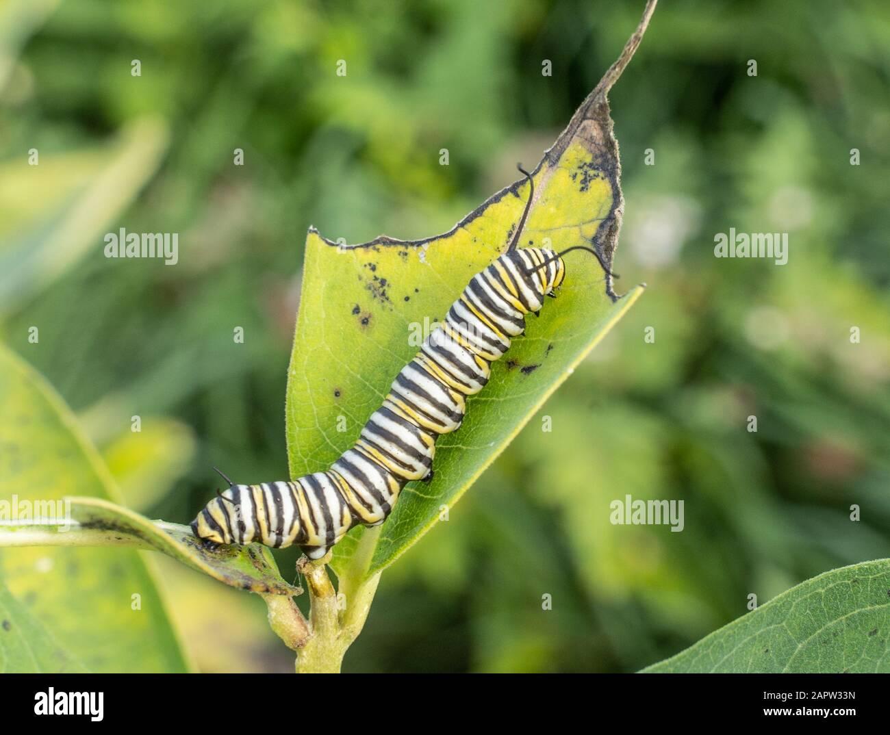 Oruga de mariposa monarca ( Danaus plexippus) en planta de maleza lechera en la mañana de verano. Foto de stock