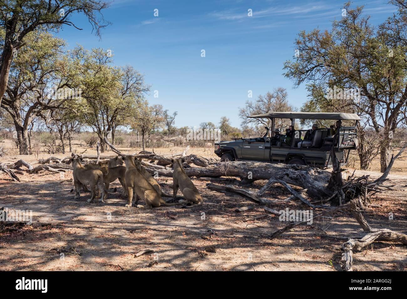Orgullo de León (Panthera leo), descansando cerca de un vehículo safari en el Parque Nacional de Chobe, Botswana, África Foto de stock