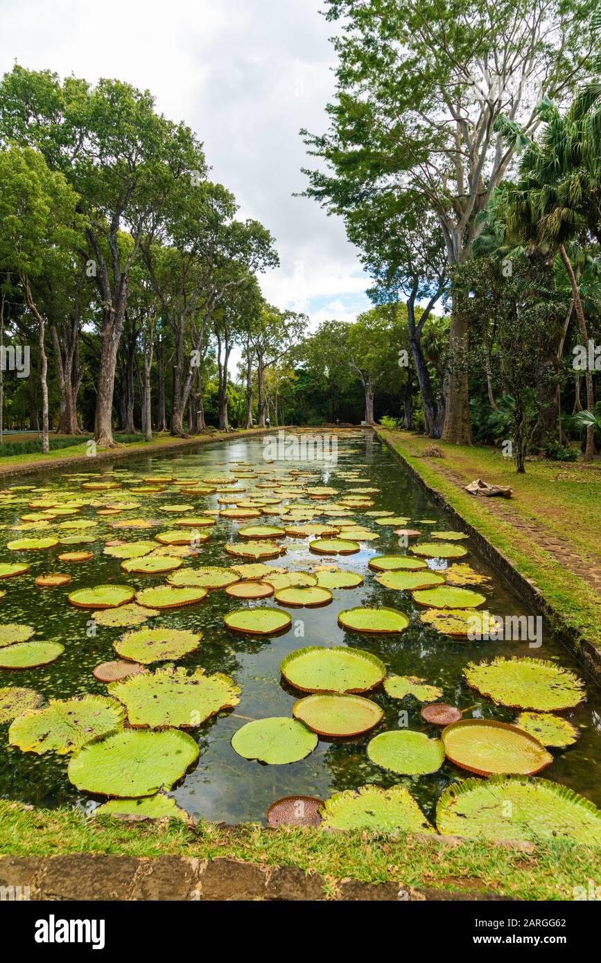 El gigante Victoria Water Lily flotando en el agua en el jardín botánico de la ciudad de Pamplemousses, Mauricio, África Foto de stock