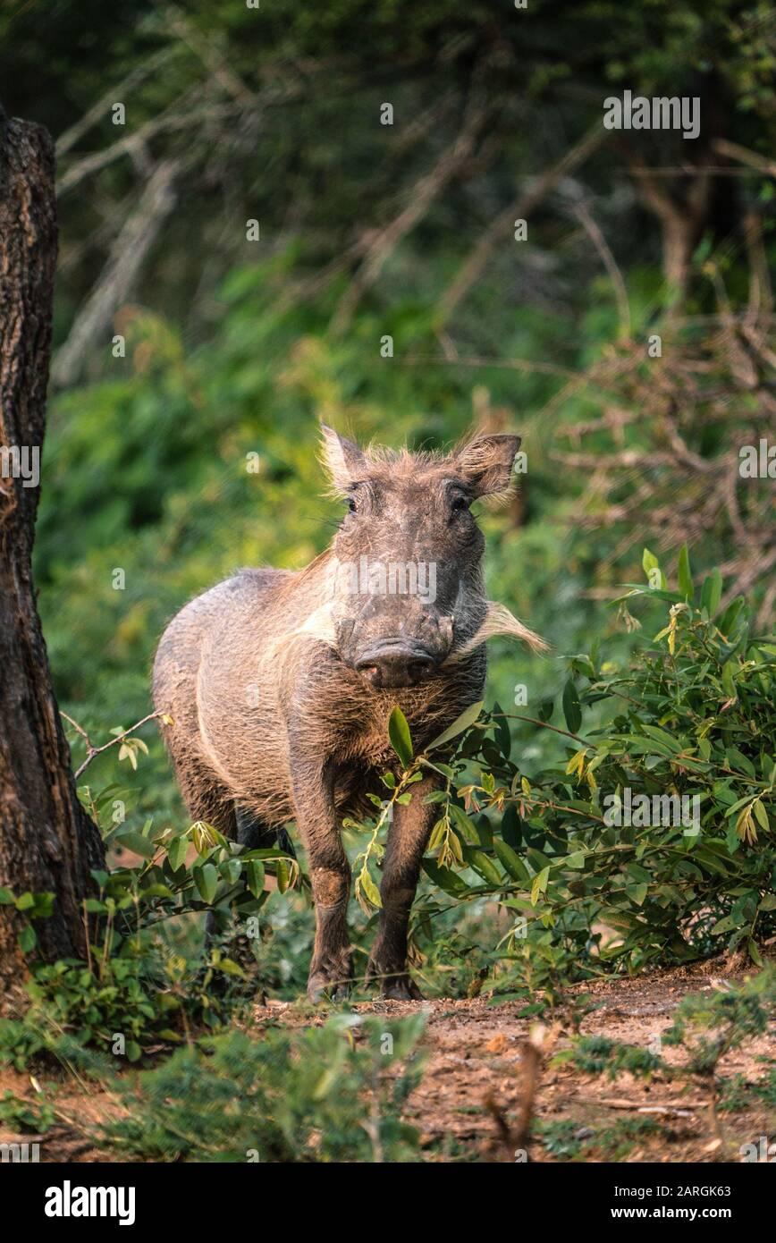 Warthog En El Parque Nacional Kruger, Sudáfrica Foto de stock