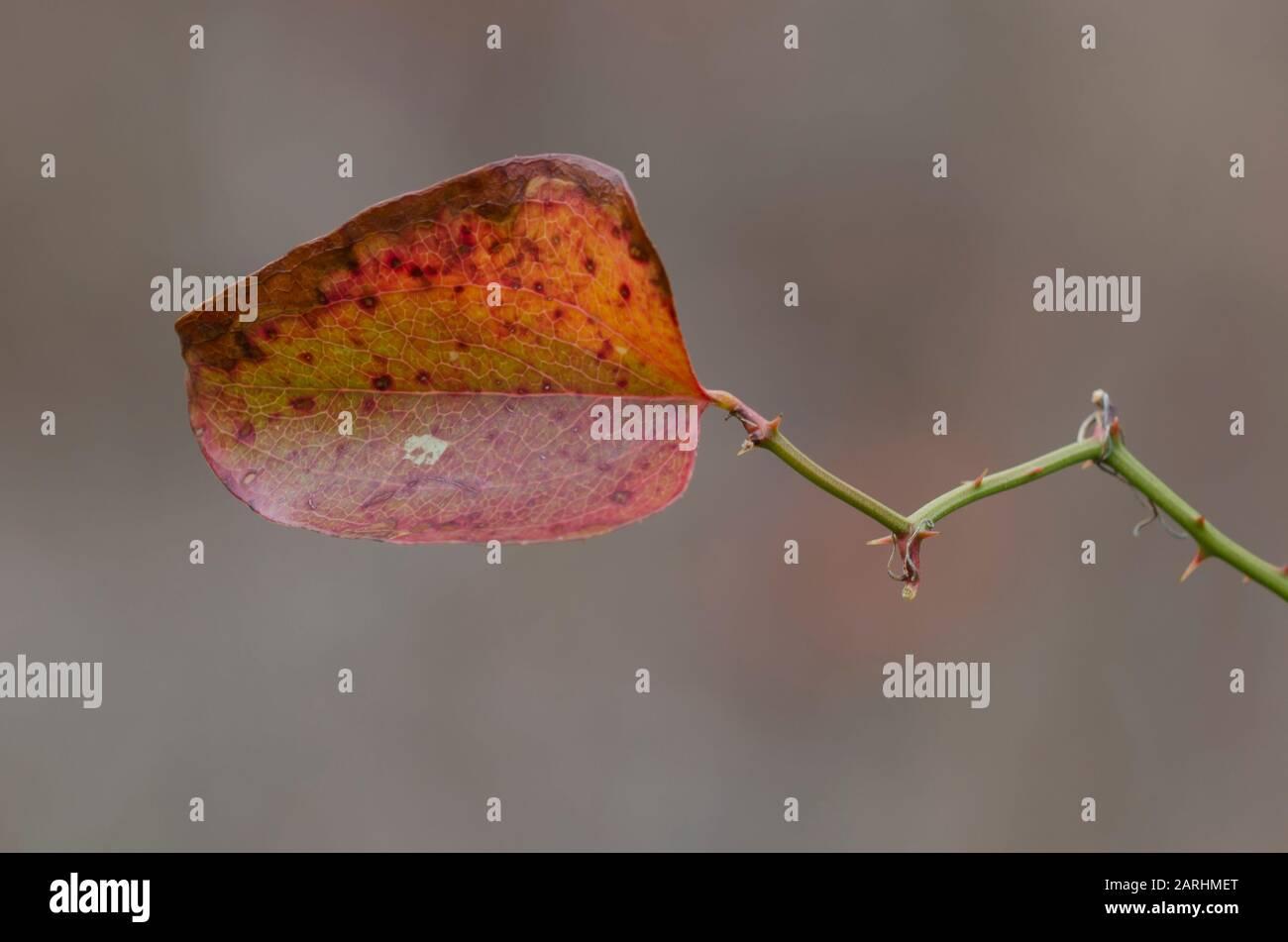 Greenbrier, Smilax sp., hoja en invierno Foto de stock