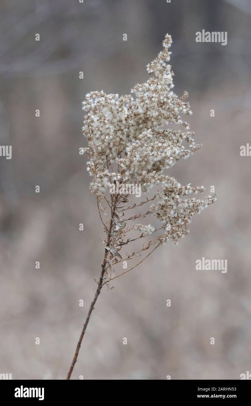Goldenrod, Solidago sp., en invierno Foto de stock