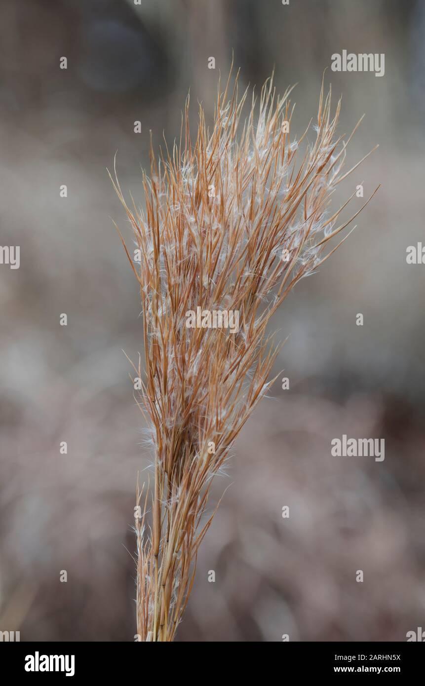 Bushy Bluestem, Andropogon glomeratus, en invierno Foto de stock