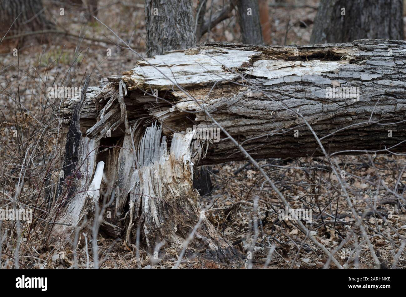 Cottonwood, Populus deltoides, derribado Foto de stock