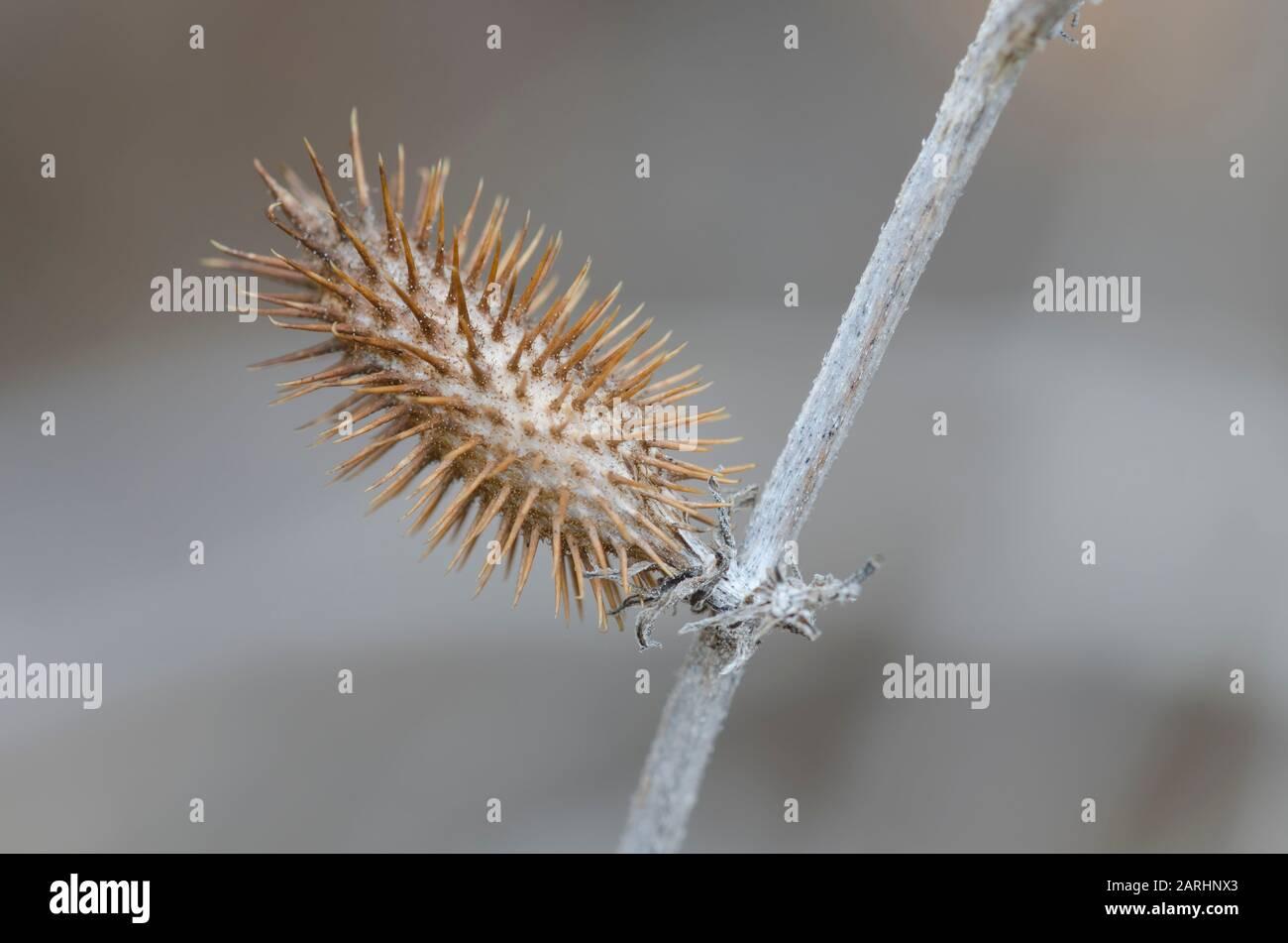 Cocklebur rugoso, estrumario Xanthium, fruta en invierno Foto de stock