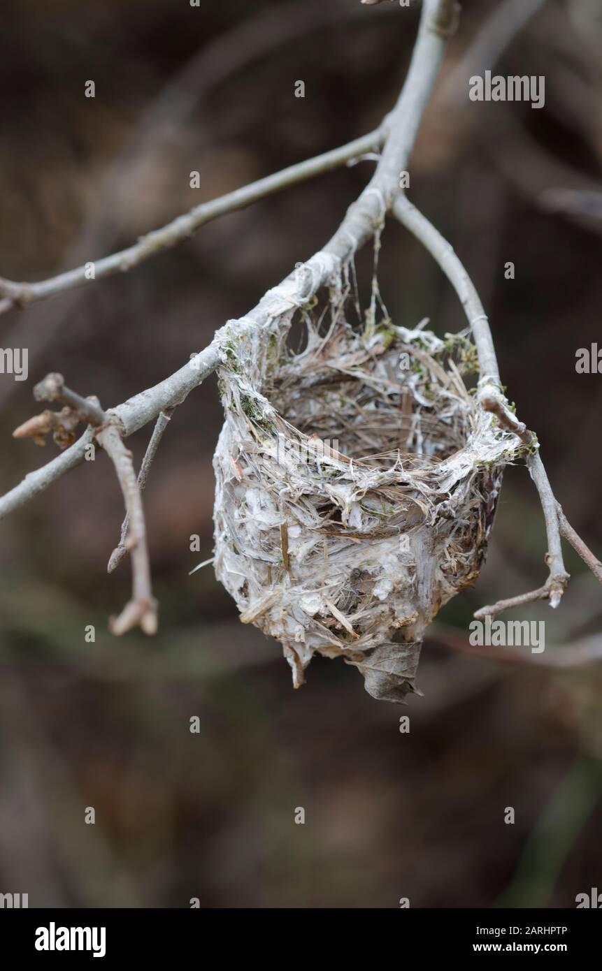 Vireo de ojos blancos, Vireo griseus, nido antiguo en invierno Foto de stock