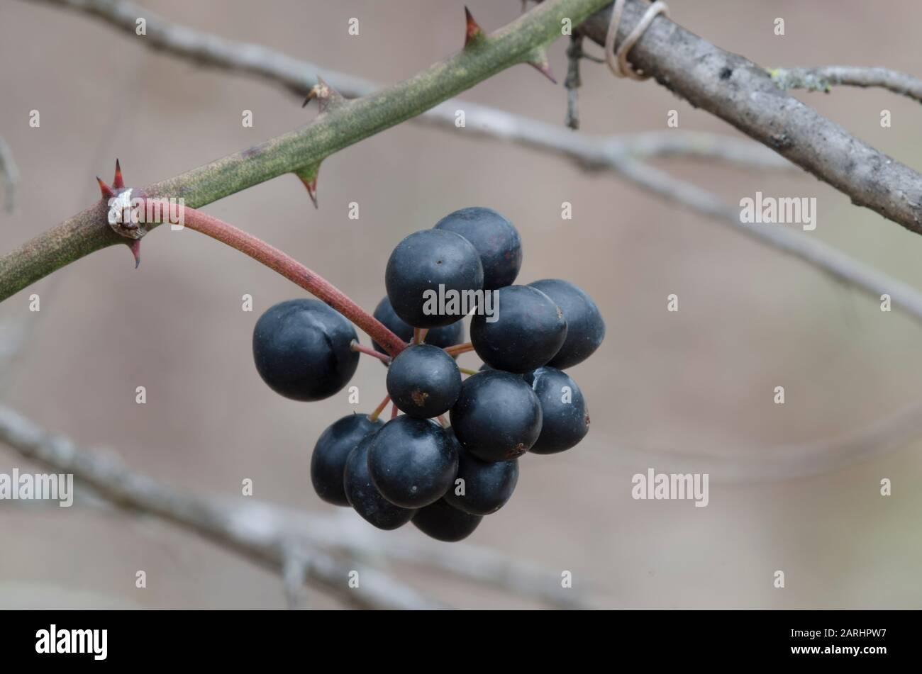 Greenbrier, Smilax sp., fruta en invierno Foto de stock