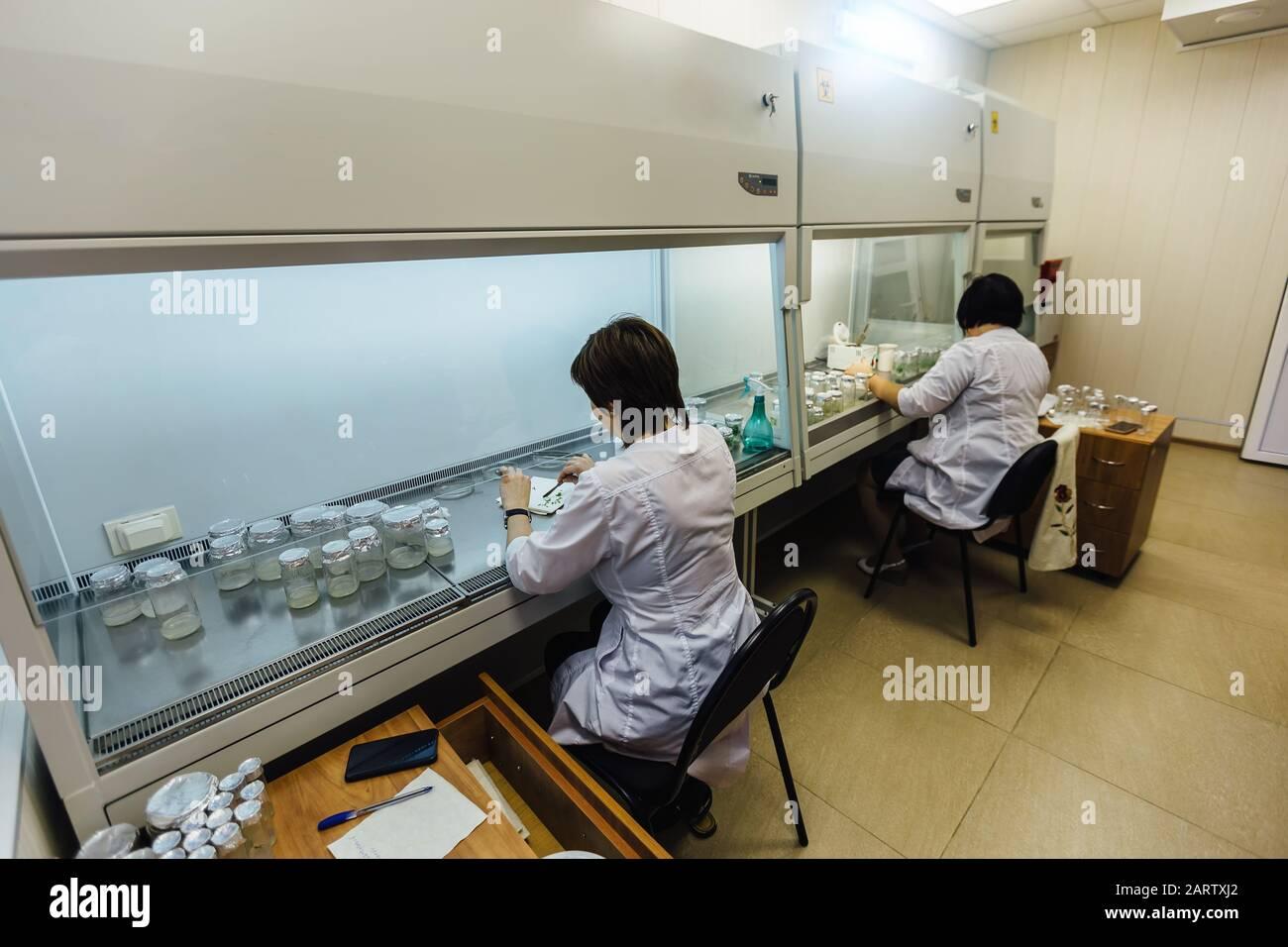 Los científicos trabajan en una caja laminar. Preparación de microplantas para la clonación in vitro Foto de stock