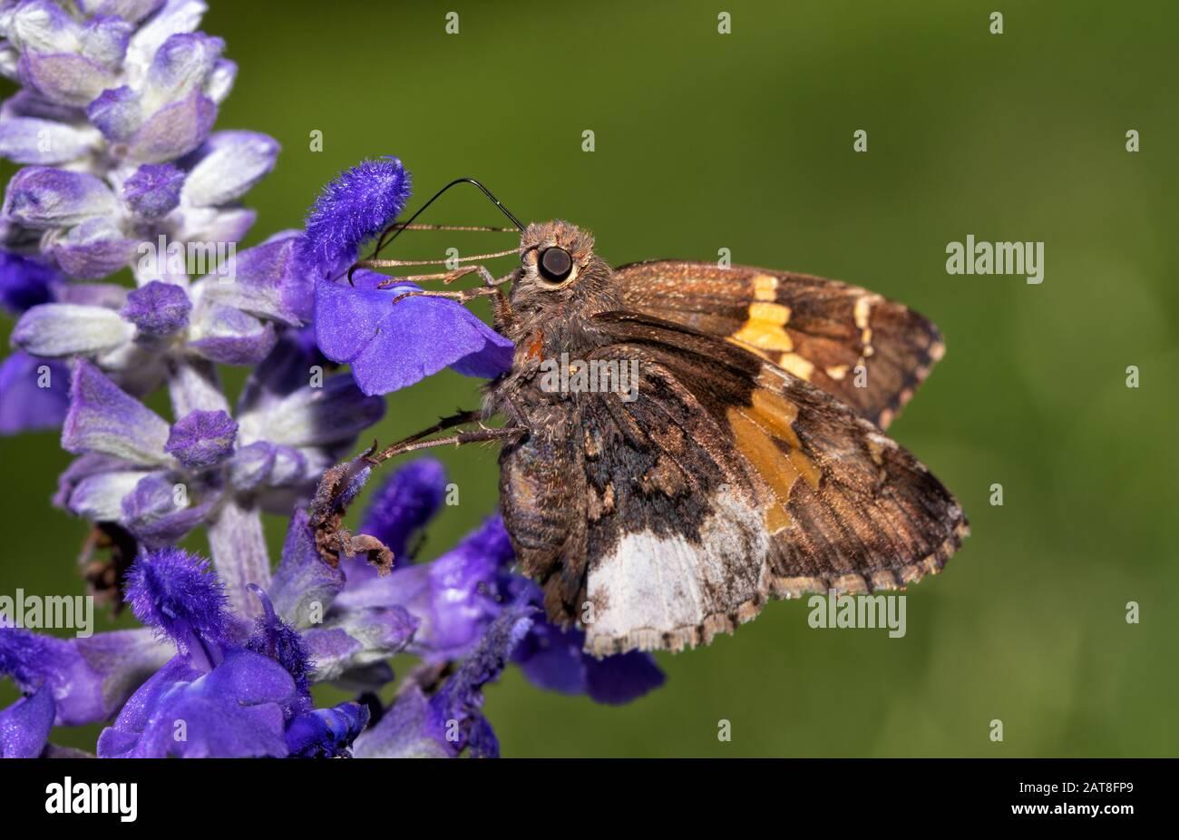 Borde del hoario mariposa alimentándose en púrpura Salvia flores con fondo verde del verano Foto de stock