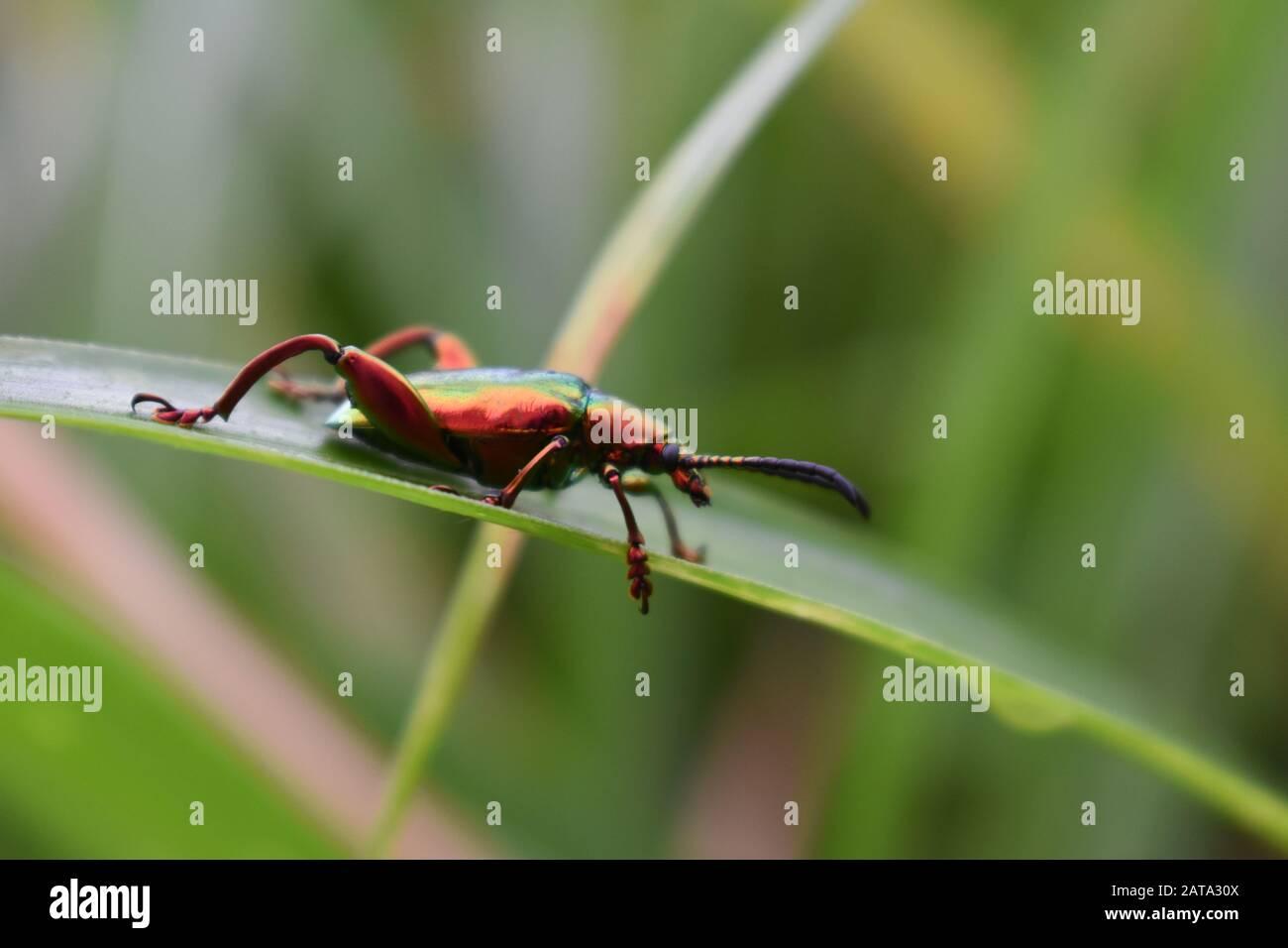Un escarabajo de color metálico de la familia buprestigiosa que se arrastra sobre una hoja de pasto elefante. Surakarta, Indonesia. Foto de stock