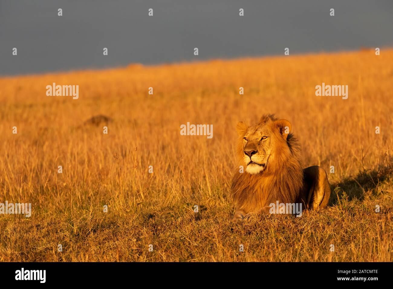 León Africano (Panthera leo) macho en la sabana en Mara North Conservancy, Kenia Foto de stock