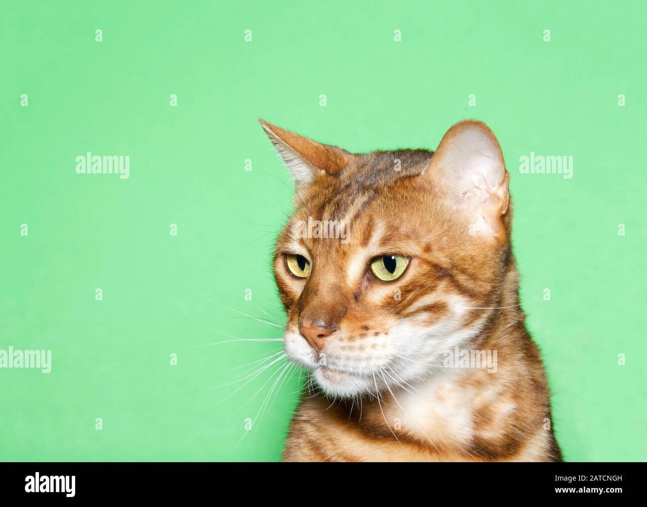Primer plano retrato de un adorable gato naranja y marrón Bengala mirando a los espectadores con curiosa expresión. Fondo verde con espacio de copia Foto de stock