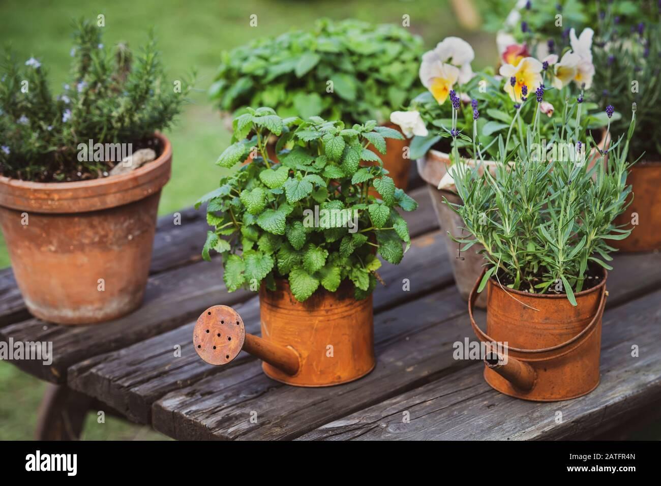 Decoración de jardín, antiguos botes de riego oxidados vintage con plantas Foto de stock