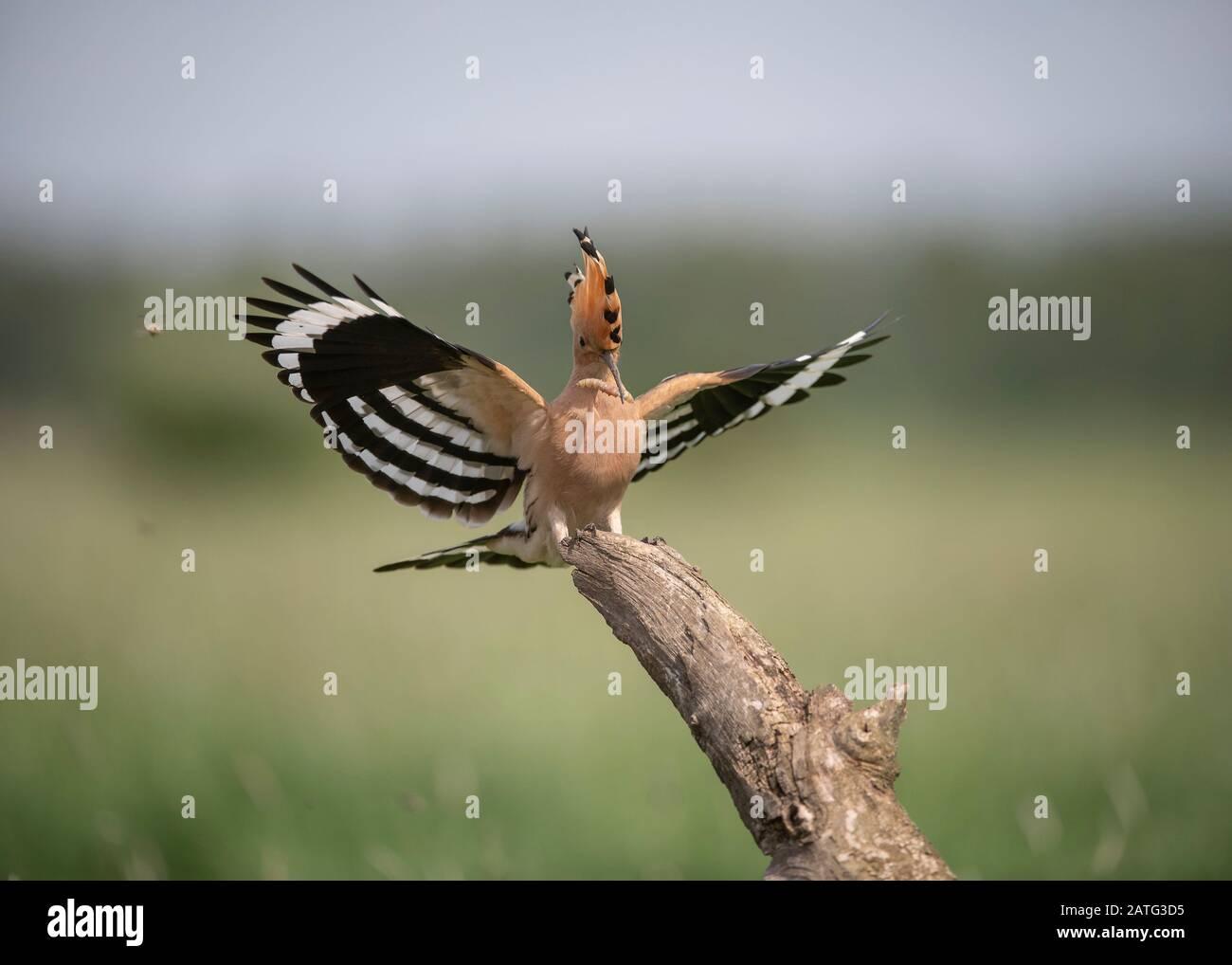 Hoopoe (Upupa epops), aterrizando en la sucursal con alimentos en su factura, Parque Nacional Hortobágy, Hungría Foto de stock