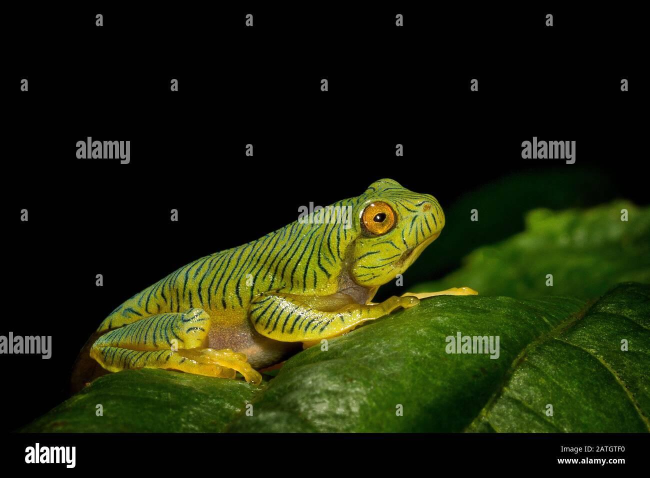 Rhacophorus pseudomalabaricus tipo de rana voladora endémico de las colinas de Anaimalai de los estados de Tamil Nadu y Kerala, India. Foto de stock