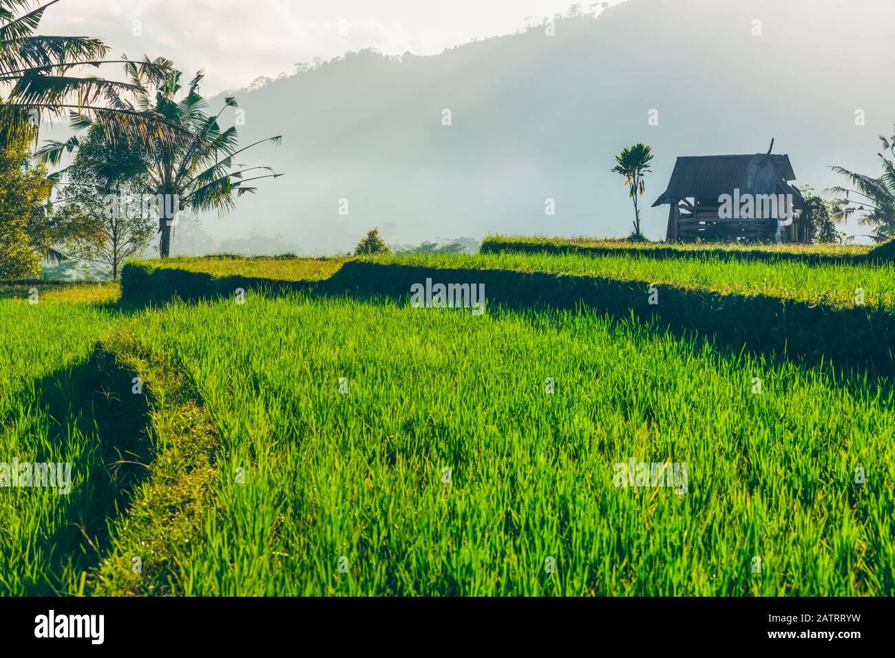 Amanecer en terrazas de arroz sideman; Bali, Indonesia Foto de stock