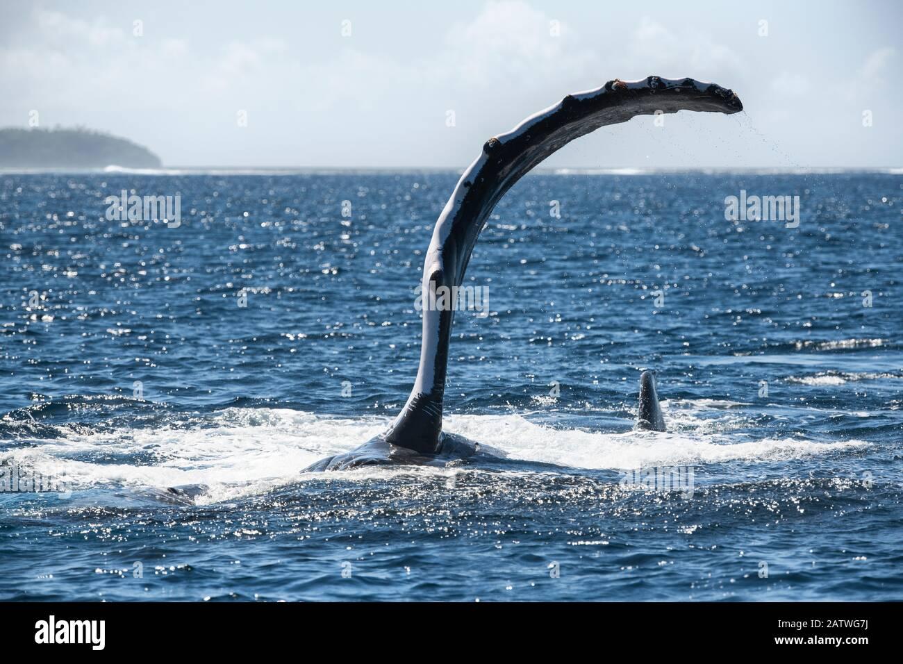 Ballena jorobada (Megaptera novaeangliae) situada a su lado mientras ejecuta una serie de palmadas de aleta pectoral en la superficie del océano. Vavau, Tonga, Pacífico Sur. Foto de stock