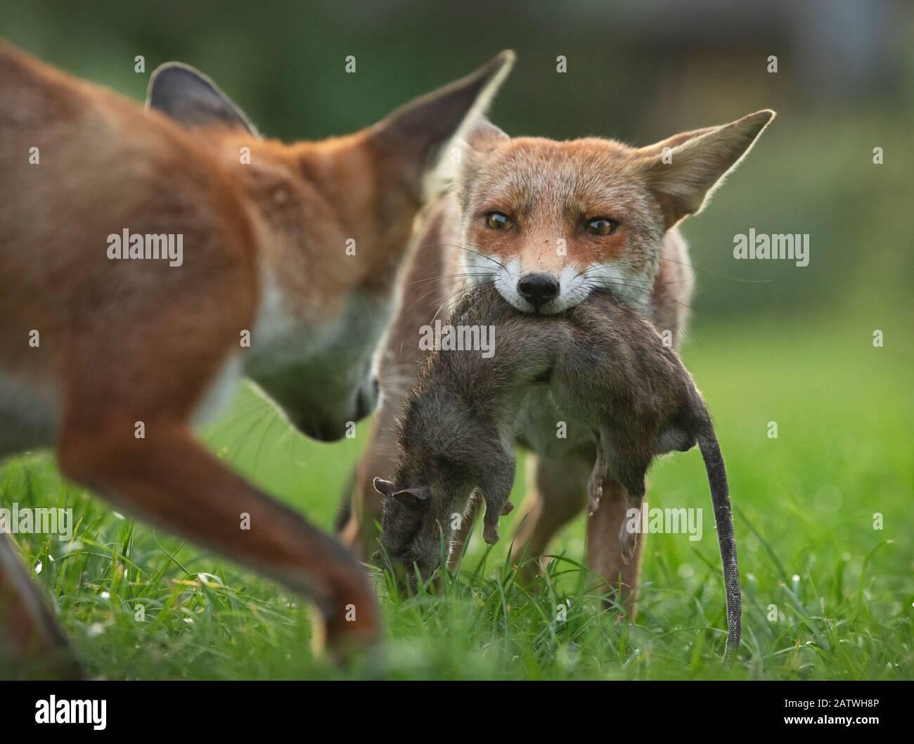 Zorro rojo (vulpes vulpes) cachorro defendiendo su matar (una rata marrón muerta grande (Rattus norvegicus)) de otro cachorro, del norte de Londres, Reino Unido. Agosto. Foto de stock