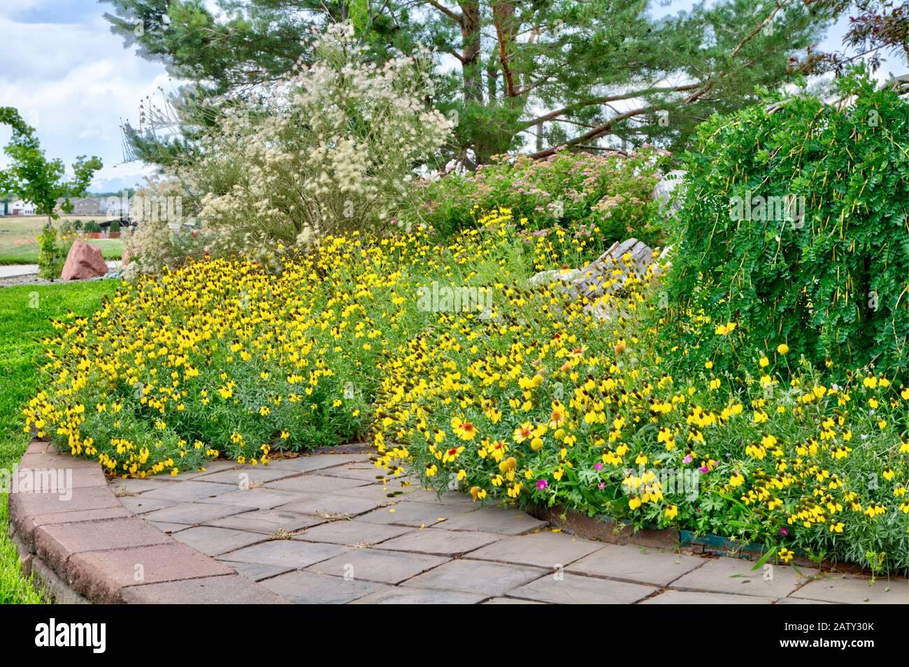 Prairie Yellow o Mexican Hat Coneflower se ha reseded en un grueso parche de flores llamativas a principios del verano. Foto de stock