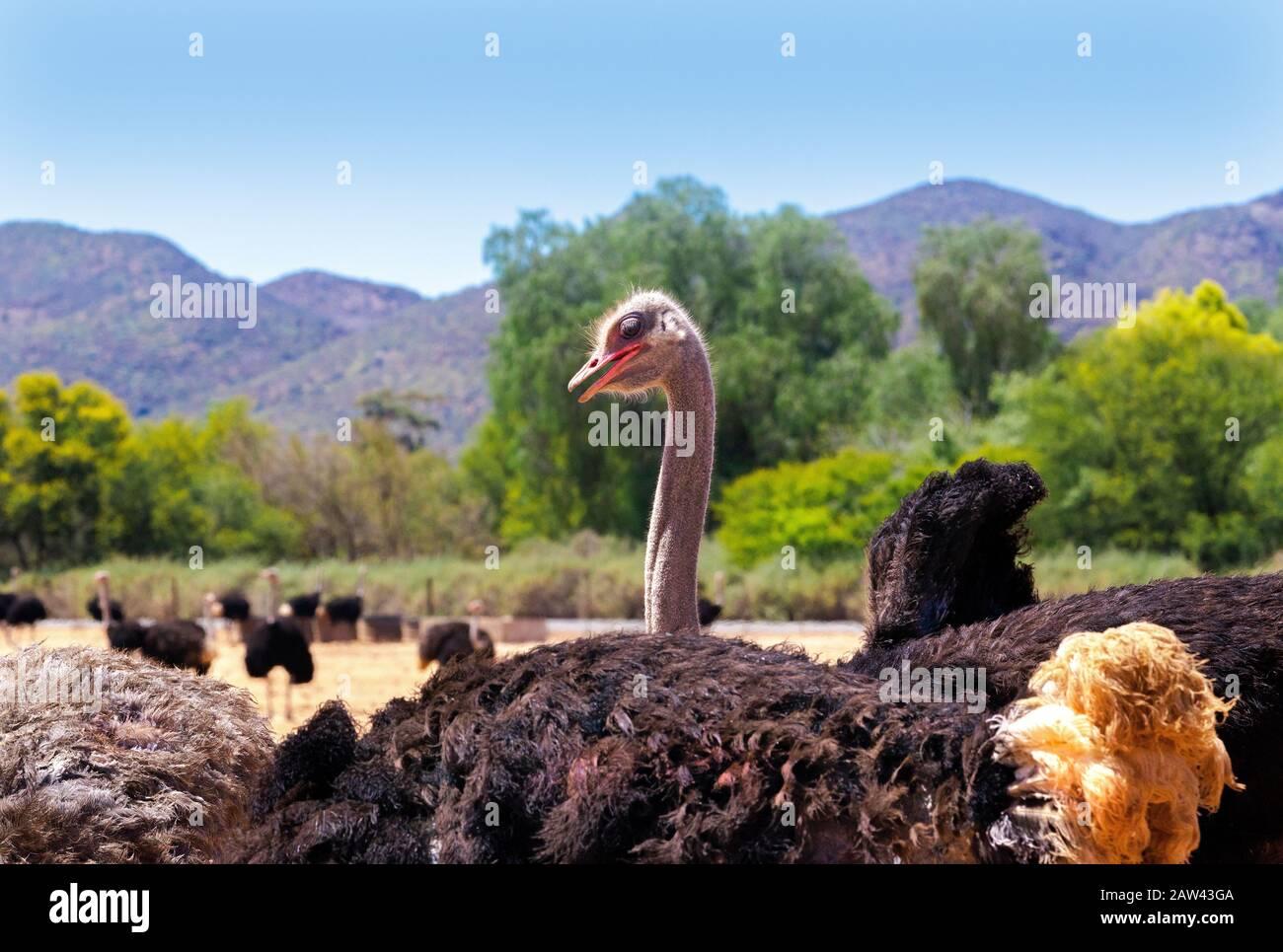 Avestruz en los campos en la ciudad de la Ruta Jardín de Oudtshoorn, Cabo Occidental, Sudáfrica Foto de stock