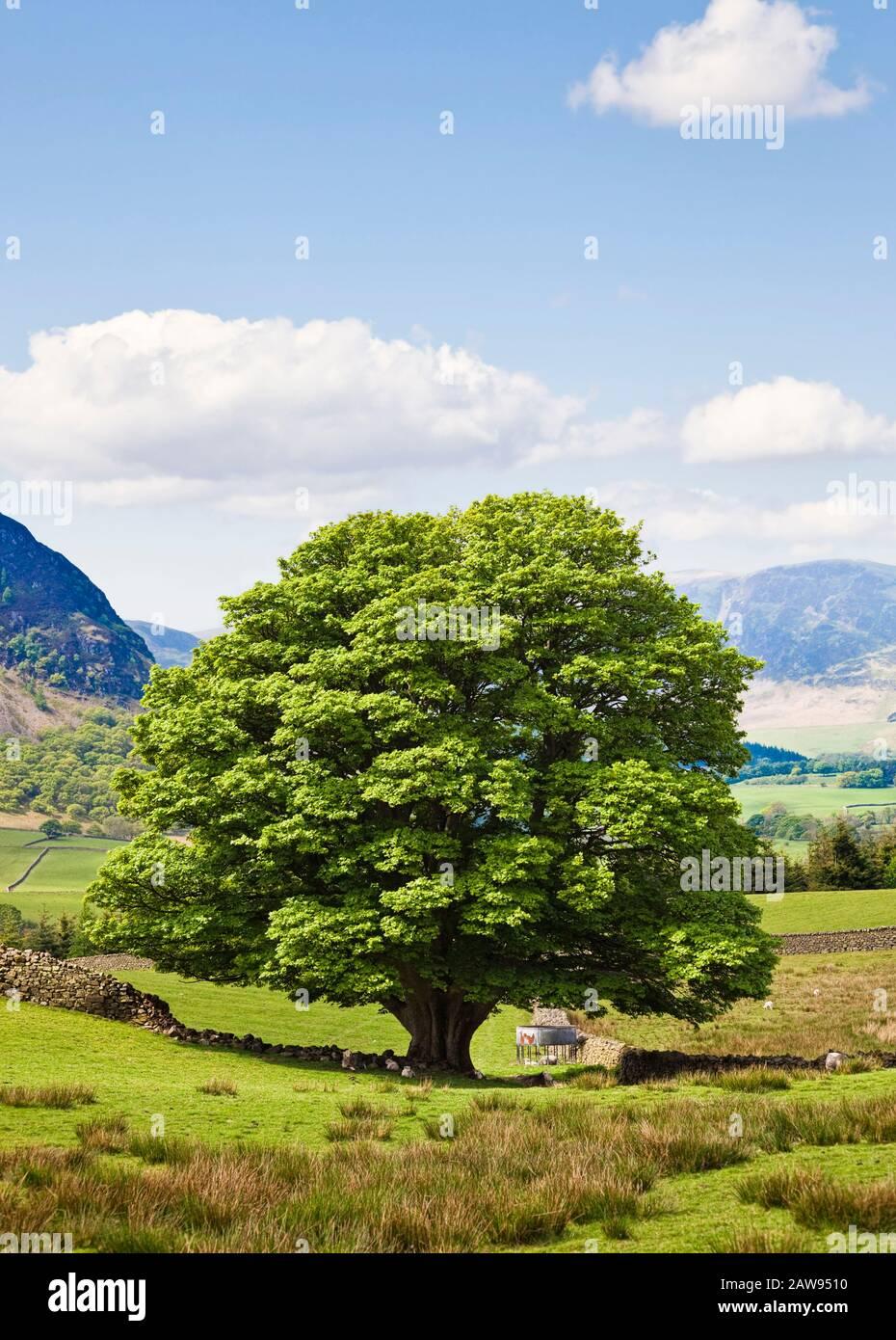 Oak Tree en un campo en verano, Lake District National Park, Cumbria, Reino Unido Foto de stock