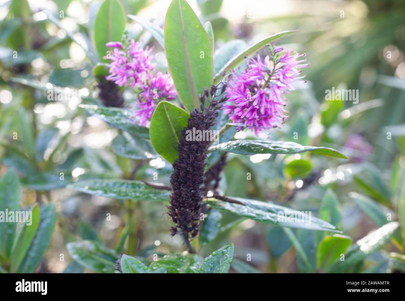 El Jardín en invierno - los tonos lila-púrpura de la variedad de follaje de Hebe 'mrs Winder' aportan color incluso durante el cierre de esta temporada de invierno. Foto de stock