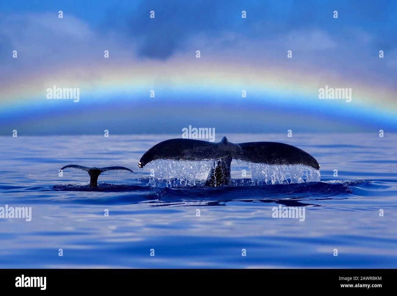 Las ballenas jorobadas de madre y ternero bucean con arcoiris, Maui, Hawai. Mamá y ternero Foto de stock