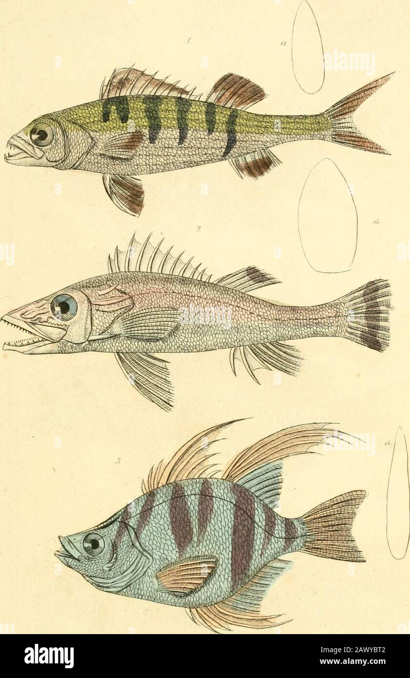 """el reino animal, organizado según su organización, sirve de base para la historia natural de los animales : y una introducción a la anatomía comparativa . """", :•_ ,/./ Ji  </.-i) , III11/mi JI iiii/dirn. 1 Luciopeica Vol.pnsis pal/AS th£liussian.Perch. 2. !Nipihon spint>sus ITlu Spiiuul Hiplwii-I3. Enoplosus antuifiu.n.TheAnntdEHcplcsus./ LLV,.U;i.li Itr/uhnrn, . PIJ Balt, i/. Elevadores, rj. F). Foto de stock"""