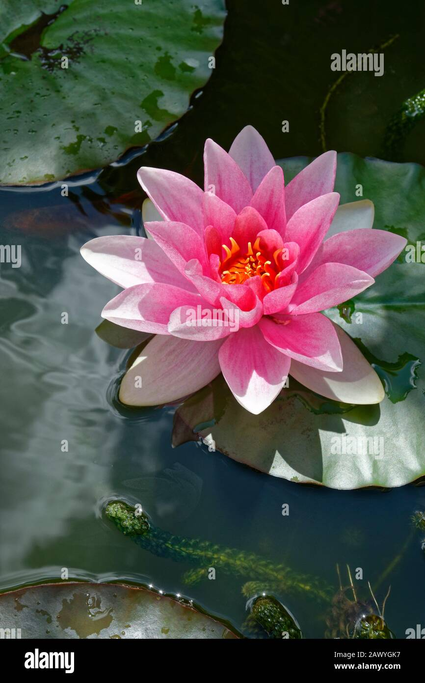 Agua Rosa Lily Flor. Foto de stock