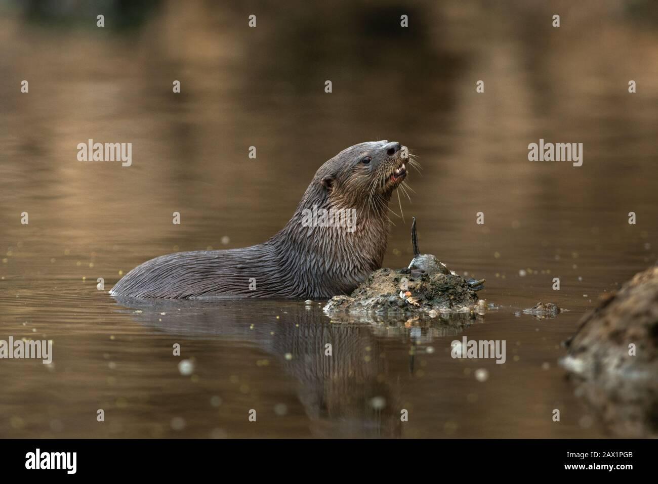 Un río Neotropical Otter (Lontra longicaudis) del sur de Pantanal, Brasil Foto de stock