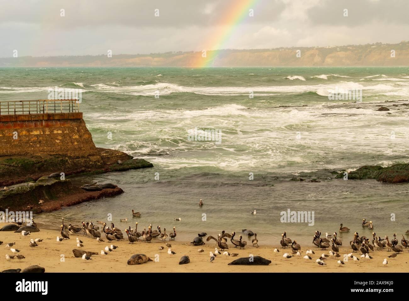 La Jolla, playa de California y arco iris con focas del puerto alrededor (nombre científico: Phoca vitulina) Foto de stock