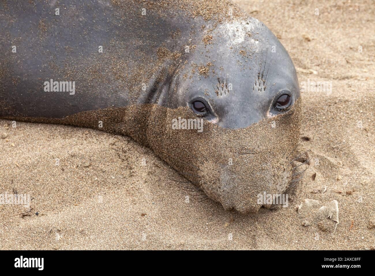 Un elefante del norte, Mirounga angustirostris, cara cubierta de arena, San Simeon, California, EE.UU. Foto de stock
