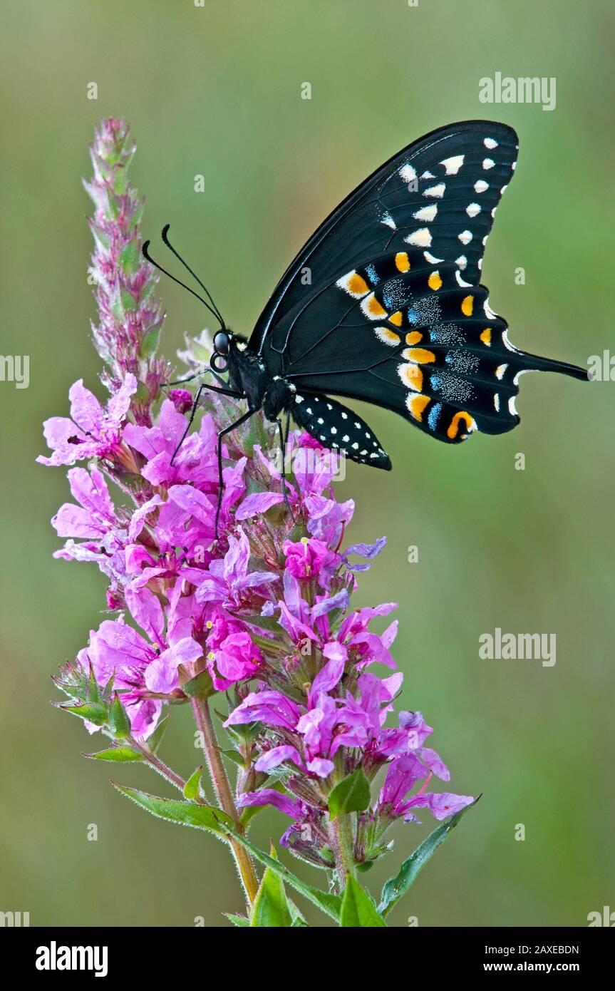 E. Mariposa de cola de golondrina negra alimentándose con flores Flojoplestrife púrpura, E USA, por Skip Moody/Dembinsky Photo Assoc Foto de stock