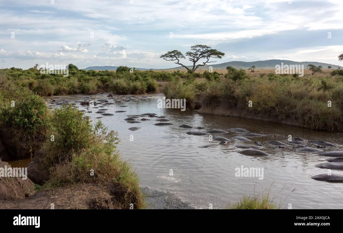 Un montón de Hippopotamus compartiendo este tramo del río. Parque Nacional Serengeti. Foto de stock