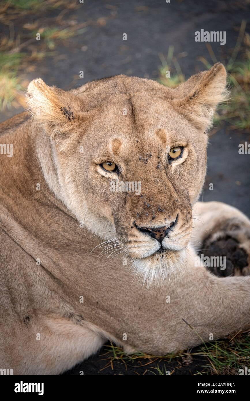 La intensa mirada de una Leona en Ndutu. Foto de stock