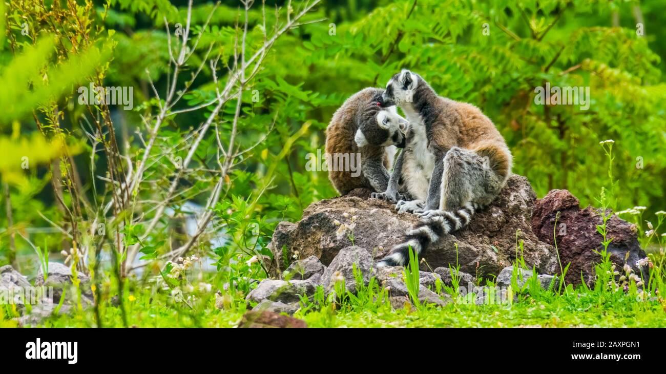 Pareja de lémures de cola en anillo arreglando unos a otros, comportamiento animal divertido, especies de primates tropicales en peligro de extinción de Madagascar Foto de stock