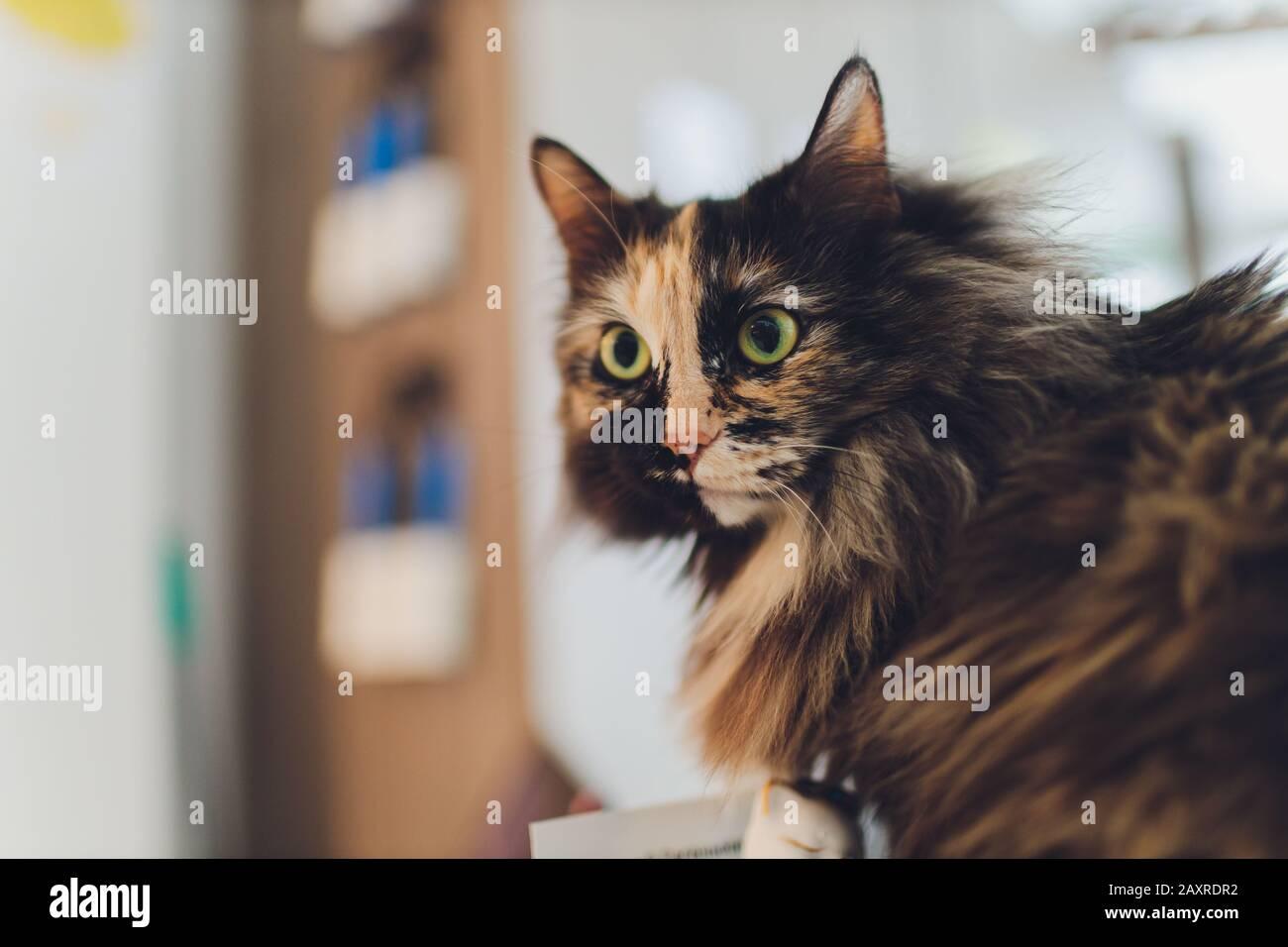 Gatito, gato descansando sobre un flor en fondo de color borroso, lindo gato divertido de cerca, joven gato juguetón en casa, doméstico, relajante, descanso, jugar en Foto de stock