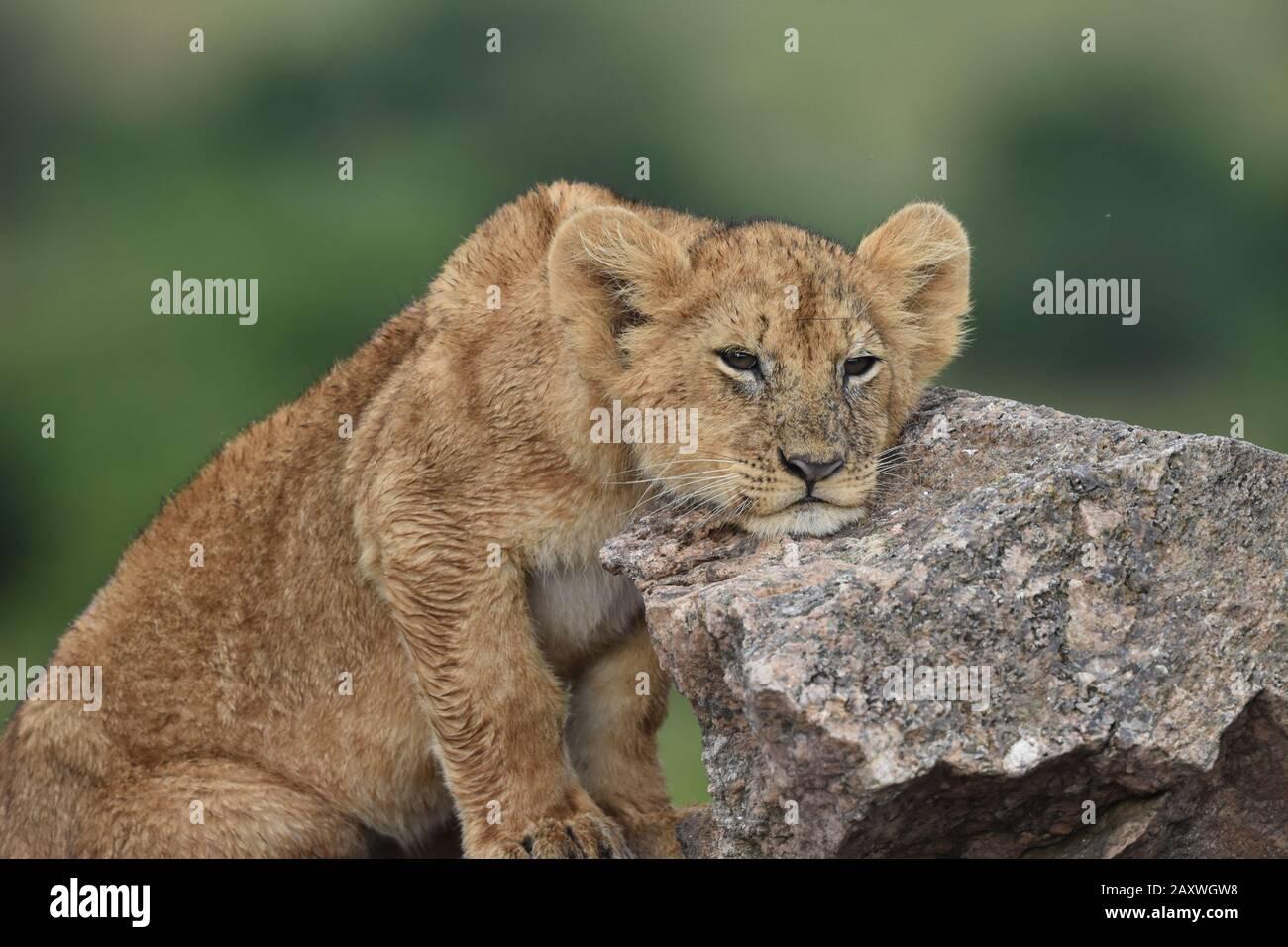 Lion Cub descansando su cabeza sobre rocas. Parque Nacional Masai Mara, Kenia. Foto de stock