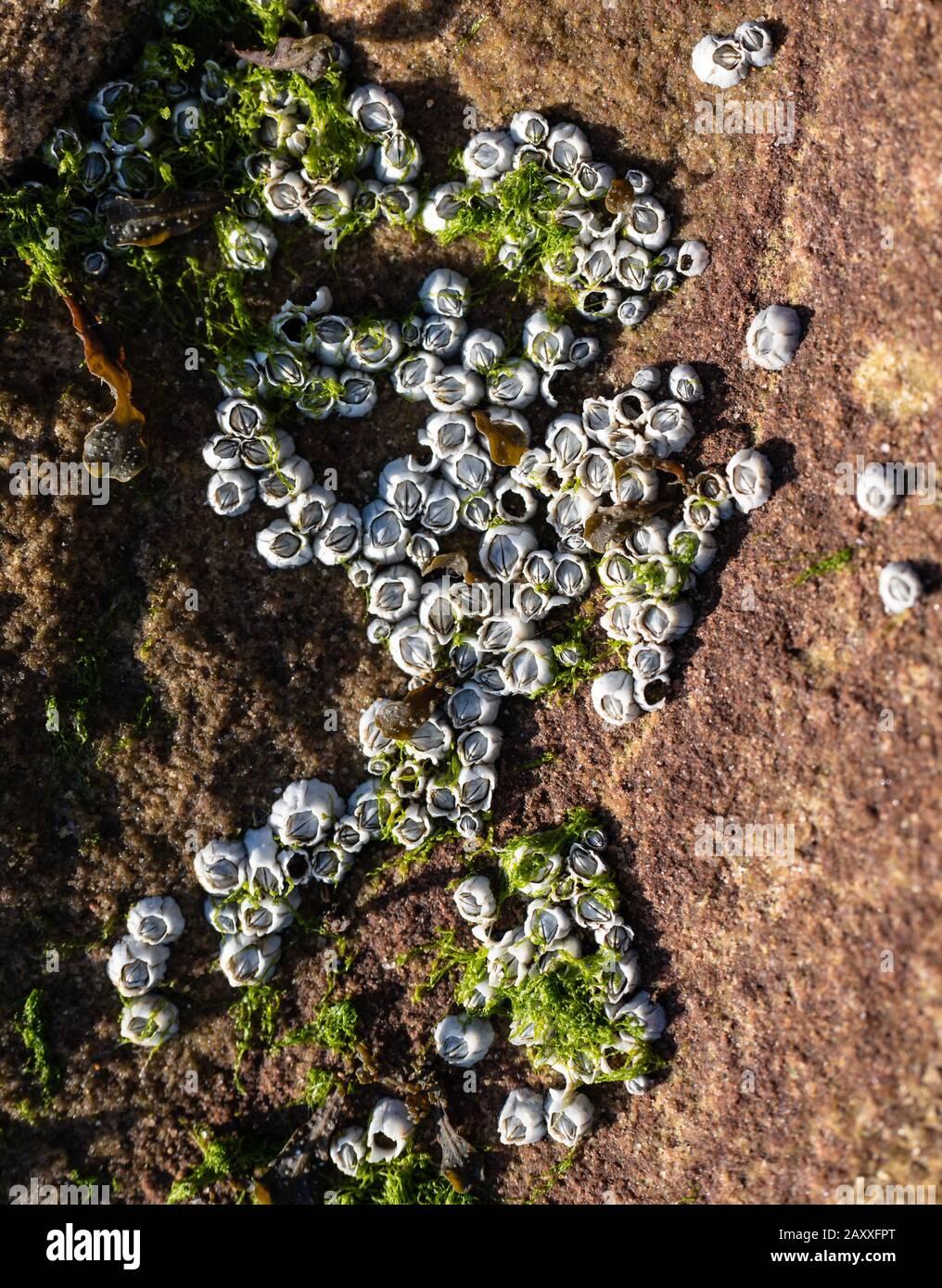 roca costera incrustada con diminutas percebes blancas y algas verdes Foto de stock