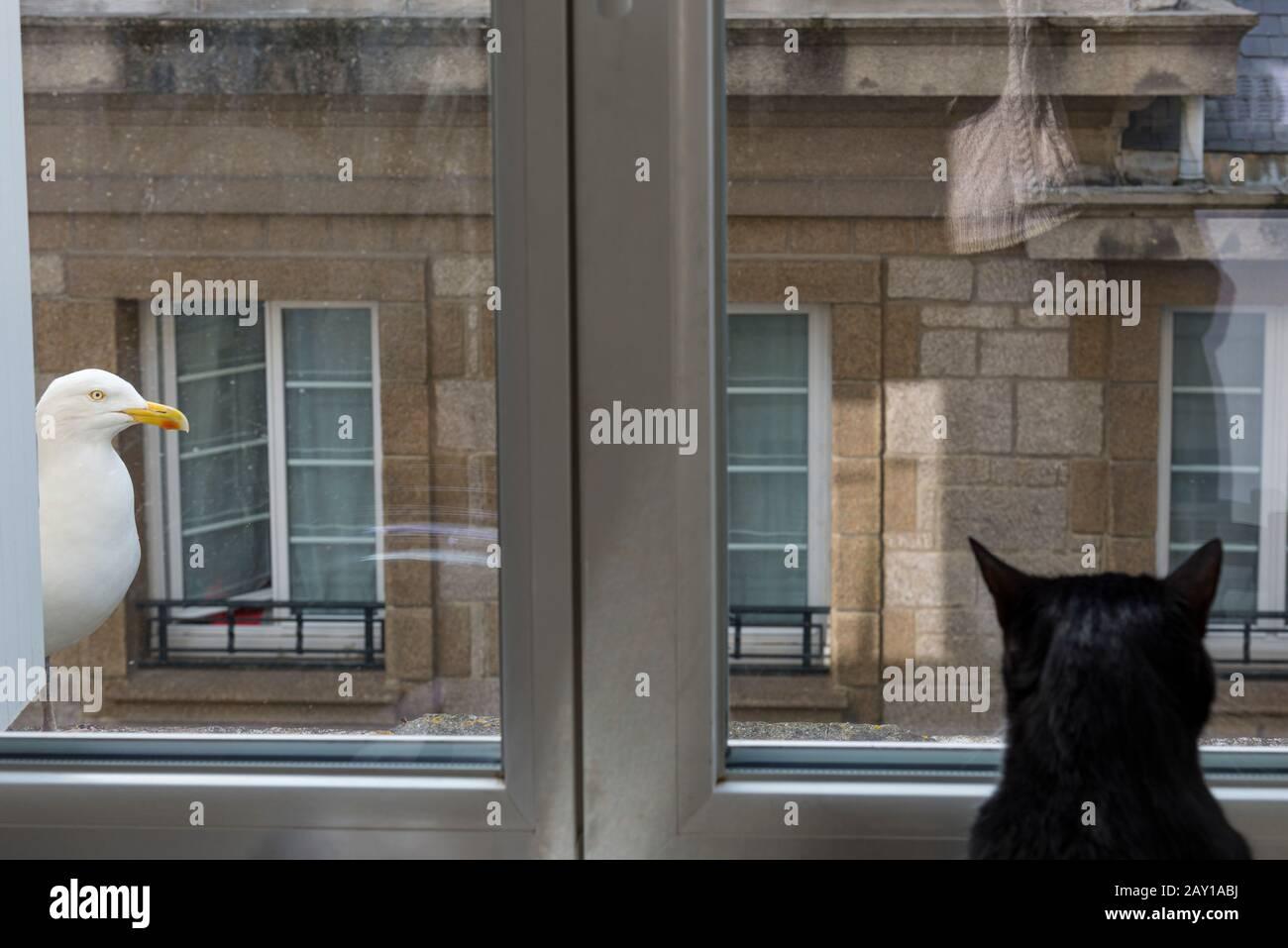 Un chat noir regarde par la fenêtre une mouette posée sur la rambarde d'un immeuble. Un gato negro mira por la ventana a una gaviota en el Foto de stock