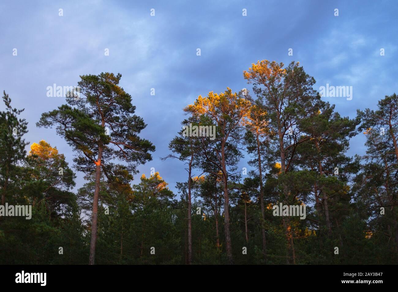 Árboles contra el cielo nocturno Foto de stock