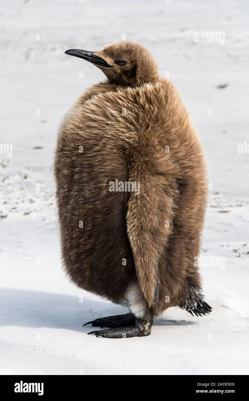Chick, pingüino rey aptenodytes patagonicus, marrón con plumas en el cuello, la Isla Saunders, Islas Malvinas, Territorio británico de ultramar Foto de stock