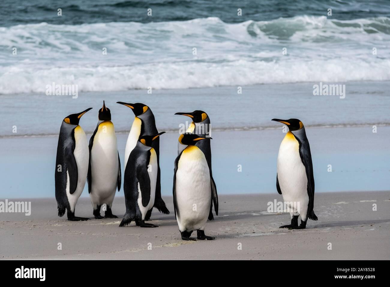 Grupo de pingüinos de rey, Aptenodytes patagonicus, en la playa de Neck, Isla Saunders, Islas Malvinas, Territorio Británico de Ultramar Foto de stock