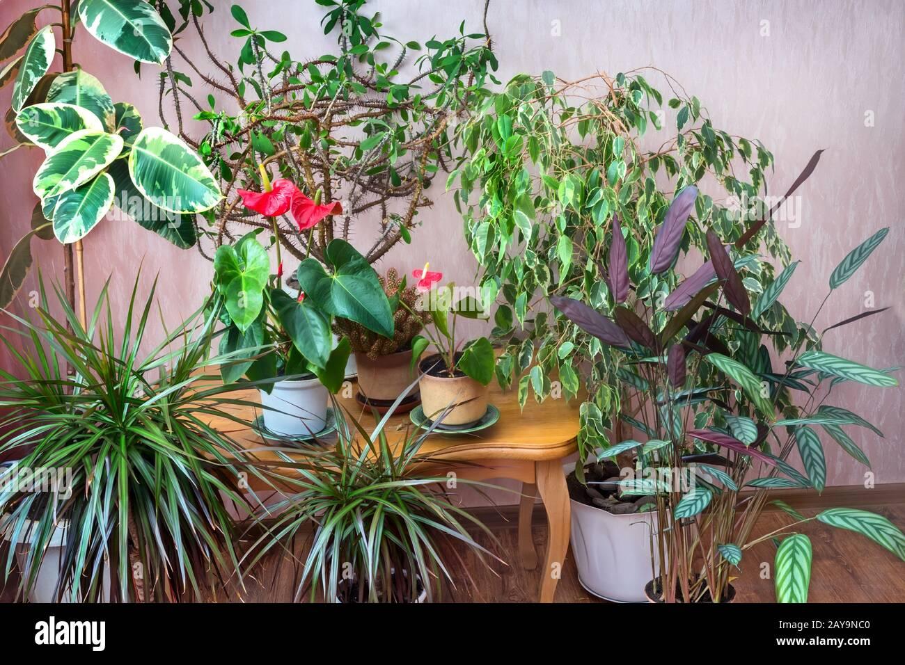 Una variedad de plantas en macetas en la casa. Foto de stock