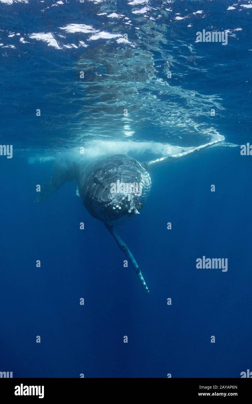 Ballena jorobada, Megaptera novaeangliae, joven hombre acercándose a la cámara, Grupo Nombruka, Islas ha'apai, Reino de Tonga, Pacífico Sur Foto de stock