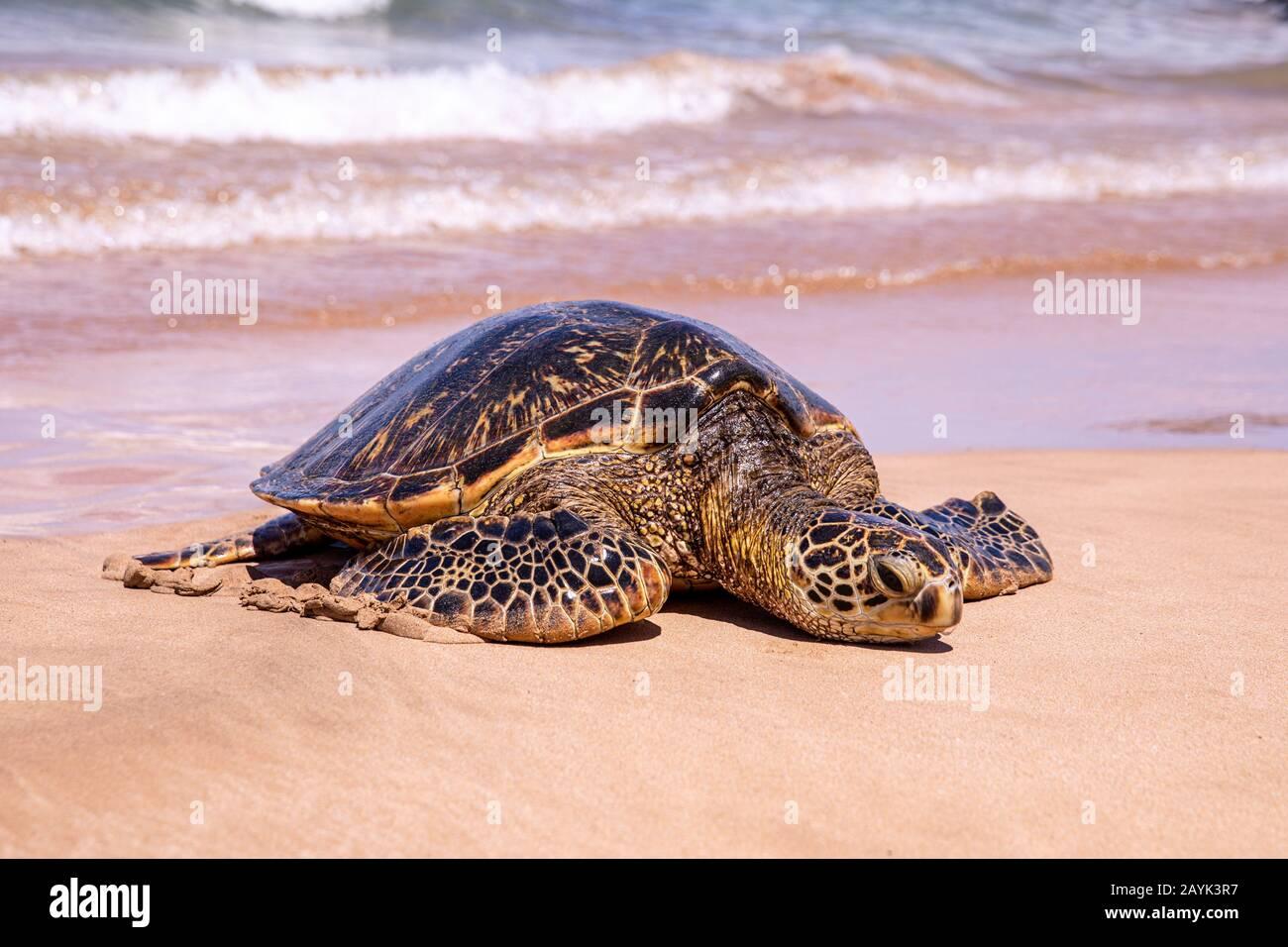 Foto de cerca de una tortuga verde en una playa Kamaole III, Maui Hawaii. Una joven tortuga verde se arrastró en una playa llena de gente en un día soleado Foto de stock