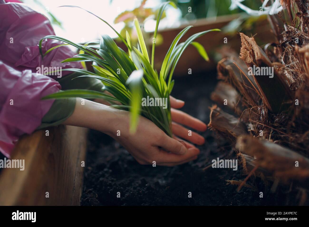 Concepto de jardinería en el hogar. Mujer manos plantando planta de plántulas. Luz del sol sobre las hojas. Foto de stock