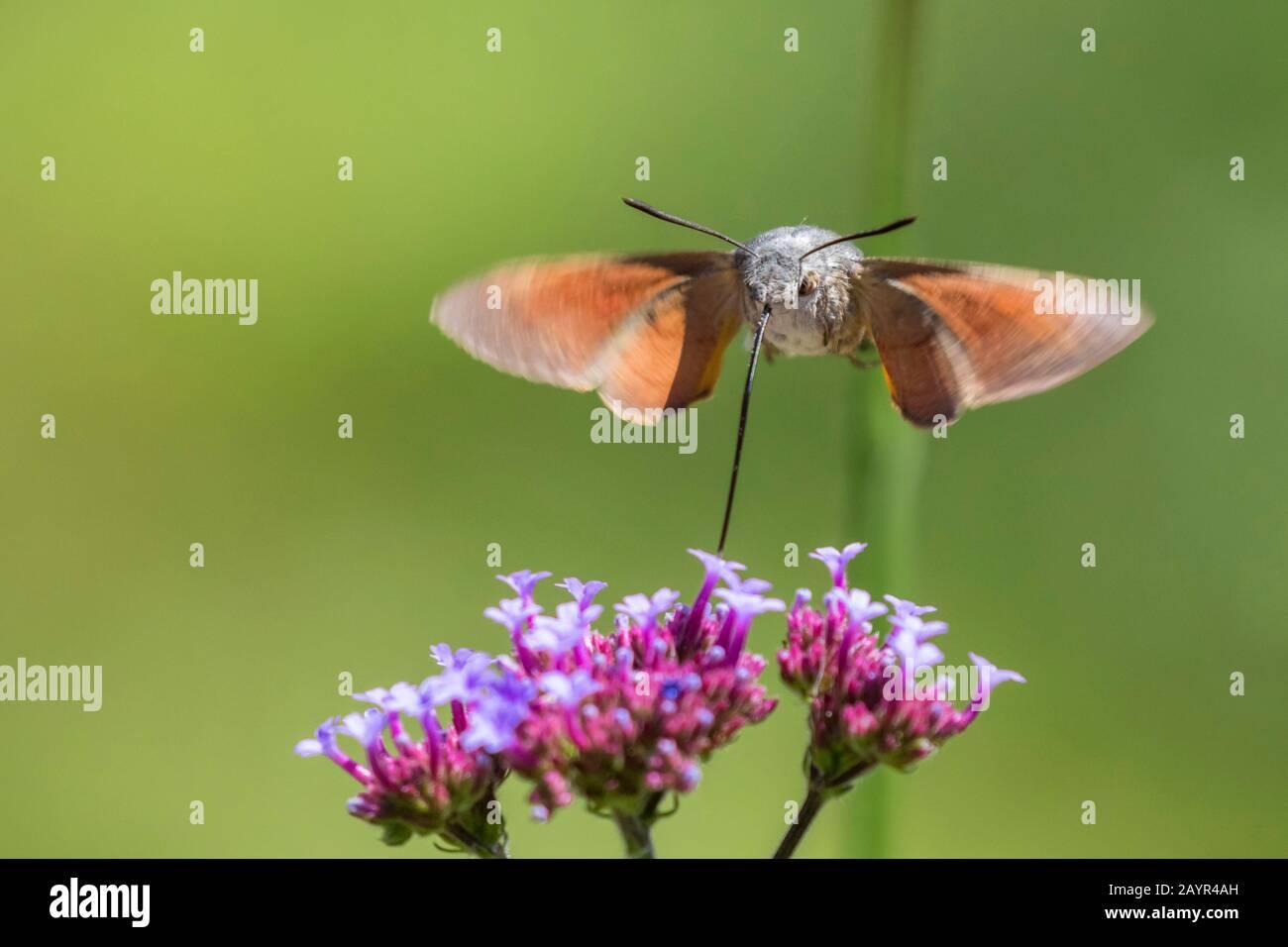 La polilla de colibrí (Macroglossum stellatarum), que pasa sobre una flor y chupa néctar, Alemania, Baviera, Niederbayern, Baja Baviera Foto de stock