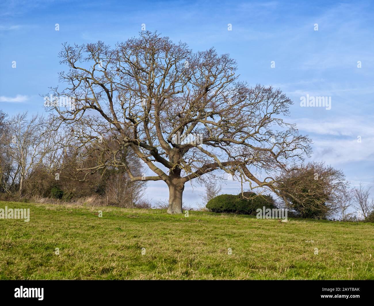 Roble Viejo en invierno en Northbourne Farm en Kent el Jardín de Inglaterra, vea también el mismo árbol con follaje de verano y finales de otoño Foto de stock