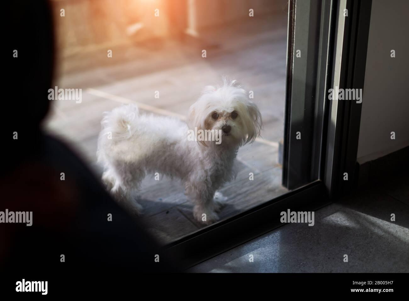 Lindo perro blanco de raza maltesa cerrado en el balcón, esperando a que su propietario se presente a casa. Foto de stock